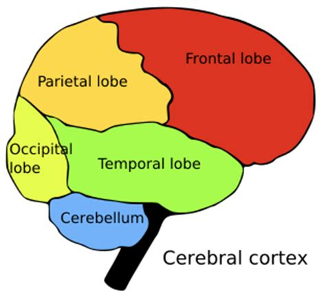 anatomy coloring book brain brain lobes color coded and labeled anatomy