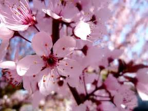 Blossom Cherry Picture by Cherry Blossom By Kassyselska On Deviantart