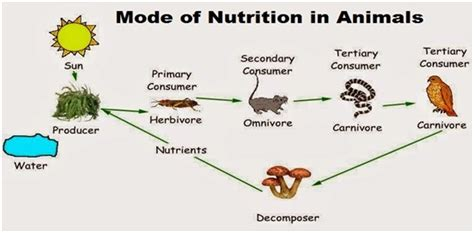 Chemical Coordination In Plants And Animals Essay by Mode Of Nutrition In Animals