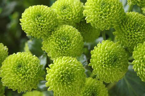 san carlino fiore naturaleza flor fondo de pantalla 183 foto gratis en pixabay