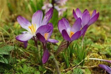 fiori di croco fiore di croco scaricare foto gratis