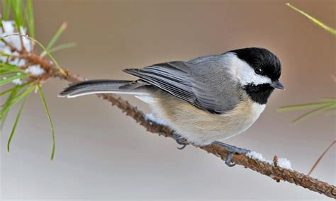 carolina chickadee birds of north america online