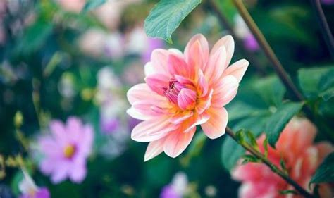 how to care for dahlias over winter garden life style express co uk
