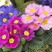 primula rossa fiore primula linguaggio dei fiori primula linguaggio dei