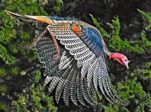 Wild turkey mendonoma sightings