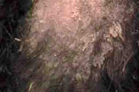 seborrhea in dogs cure skin and dandruff in 3 easy steps
