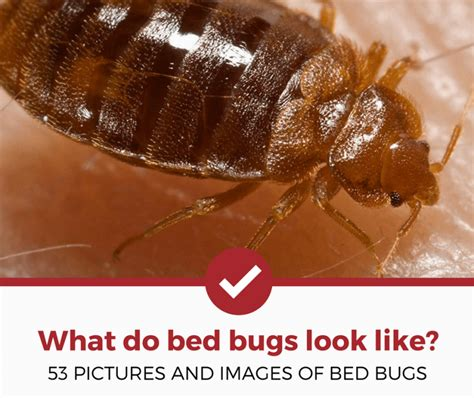 What To Bed Bugs Look Like