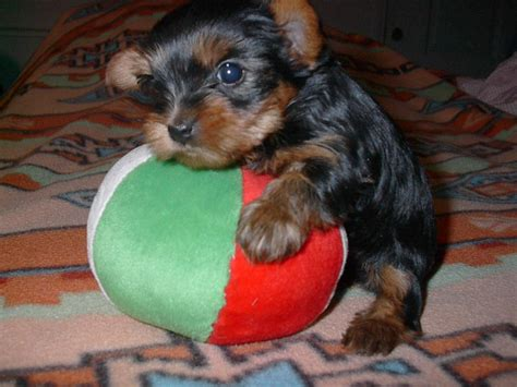 7 week yorkie puppies let s see those yorkie puppy pictures yorkie forum terrier forums