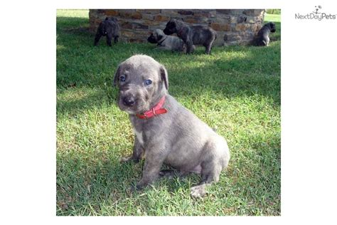wolfhound mix puppies for sale wolfhound puppies for sale dogs puppies for sale with free breeds picture