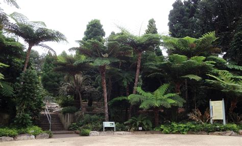 australian botanical garden where to find the wollemi pine in sydney sydney