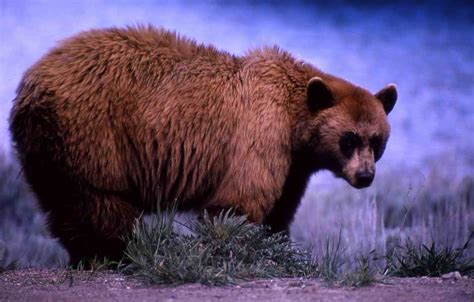Free Pictures - download good quality images of Black Bear