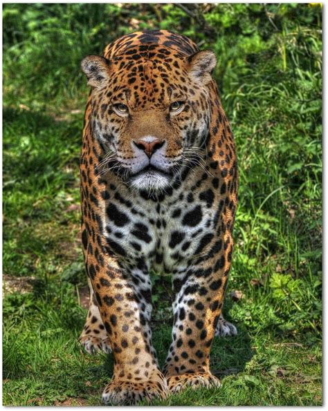 how many babies does a jaguar 17 best images about jaguars on cats animals