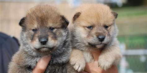 shikoku puppy shikoku information characteristics facts names