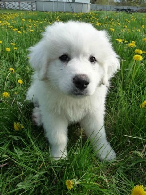 great pyrenees puppy apollo the great pyrenees puppy pictures daily