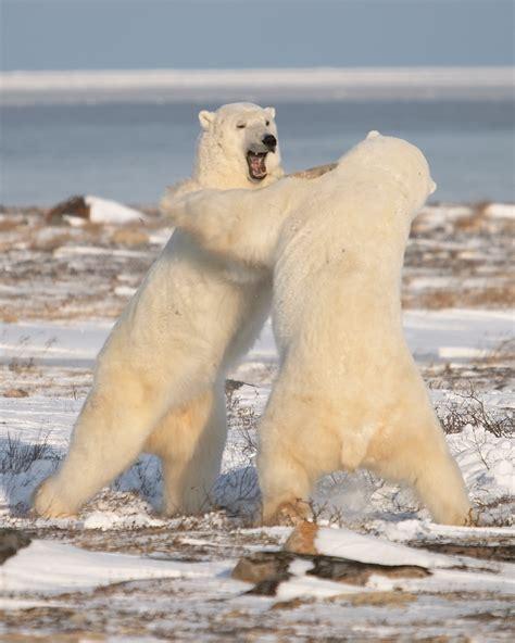 looking back at polar season churchill polar bears