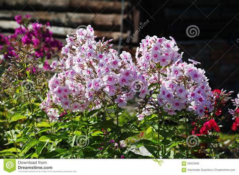 autumn garden flowers beautiful flowers in the autumn garden five petal pink