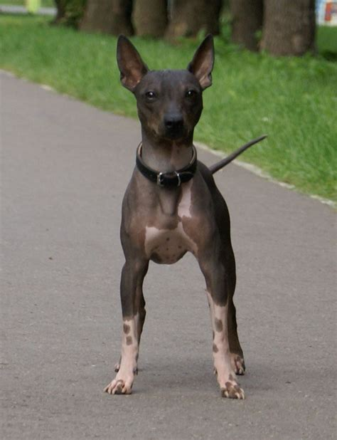american hairless terrier puppies american hairless terrier for the home