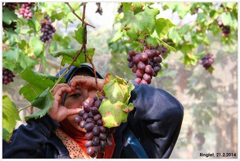 Sale Velly Anggur tentang segala ladang anggur ringlet edisi berbuah