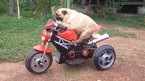 pug bike puggy the rides his electric bike and frees himself from a dip in the road daily