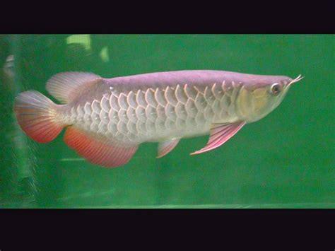 Indahnya Gan Gambar Foto indahnya gan gambar foto ikan arwana golden ini