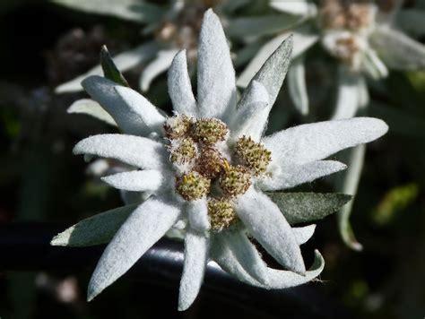 edelweiss bloem oostenrijk edelweiss flower cerca con google stella alpina