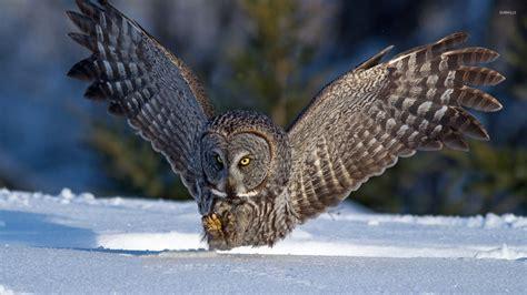 great grey owl wallpaper gallery