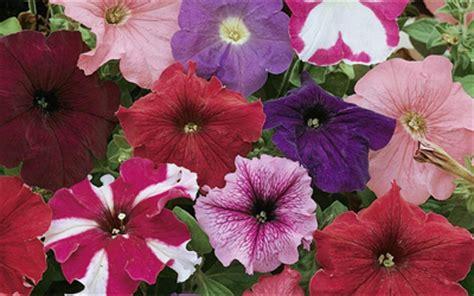 growing petunias from seed blog at thompson morgan
