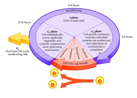 cell cycle diagram genetics the human has 46 chromosomes or simple