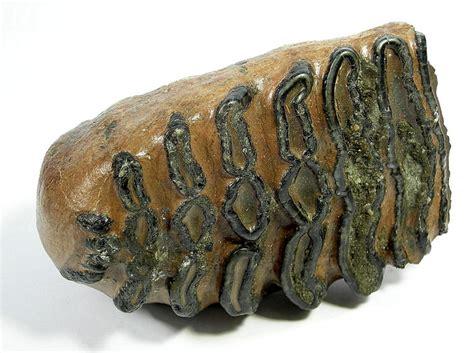 Fossil 3 3cm fossil eines mammut backenzahnes vom wollhaarmammut