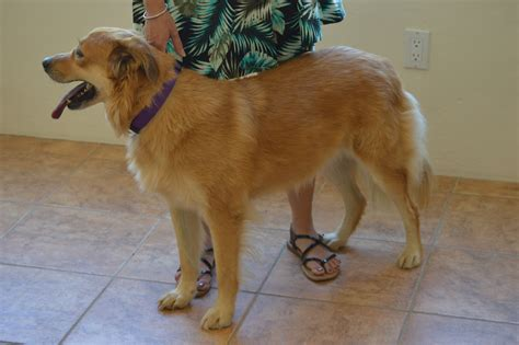 golden retriever rescue az southern arizona golden retriever rescue