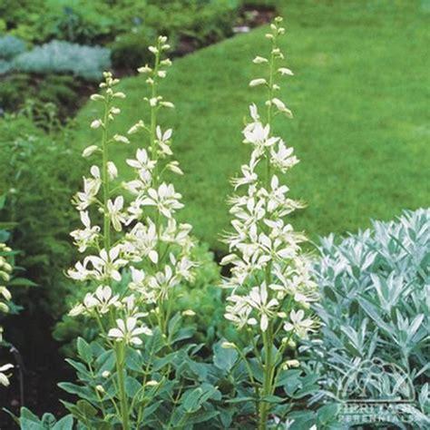 partial sun flowering shrubs dictamnus albus sun to partial sun perennials shrubs