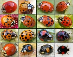 what color are ladybugs harmonia axyridis