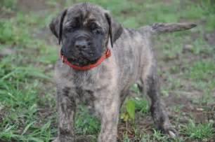English mastiff puppies puppies for sale in michigan dog breeds