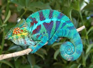 Panther Chameleon   Lizard Types