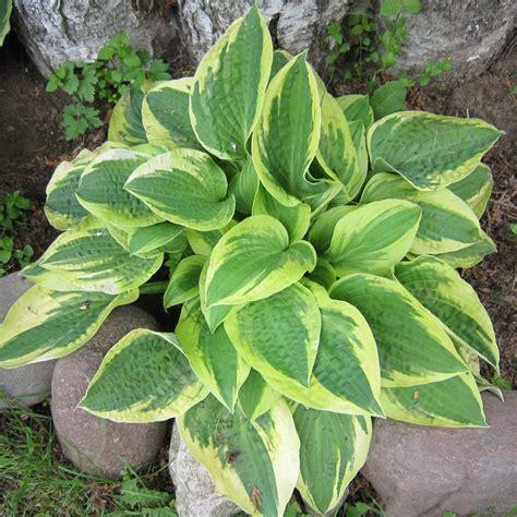 hosta encyclopedia catalog types  varieties  hostas