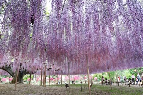 the prettiest tree in the world the most beautiful wisteria tree in the world my modern met