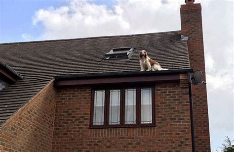 dog on the roof this family came back from holiday to find their dog