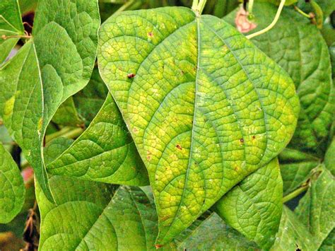 what color does money burn identifying plant nutrient deficiencies