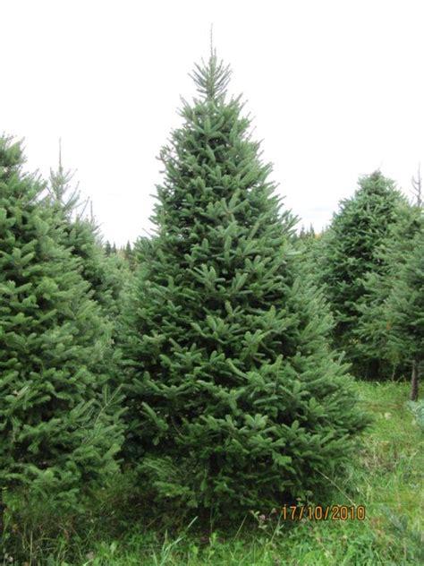balsam tree how to draw balsam fir