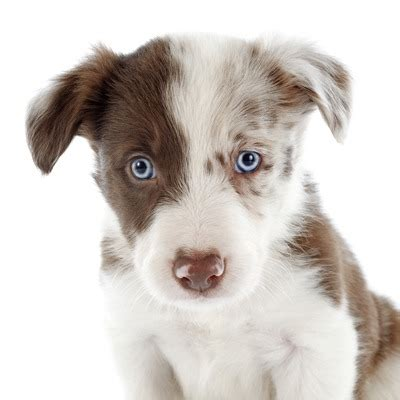 blue eyed puppies most charming breeds that surprisingly blue