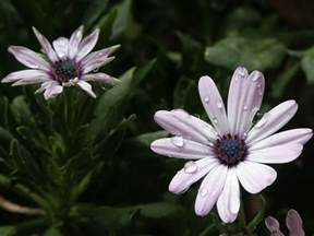 Ideas For Painting A Bathroom How To Grow African Daisies Osteospermum