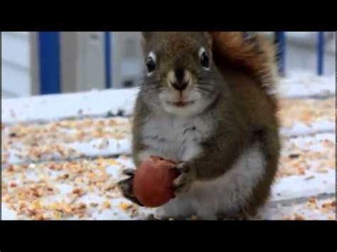 scoiattolo volante domestico scoiattolo come animale domestico alcuni consigli