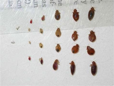tiny bed bugs information on bedbugs pictures bites and free brochures