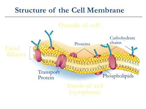 cell membrane labeled diagram cellular transport notes