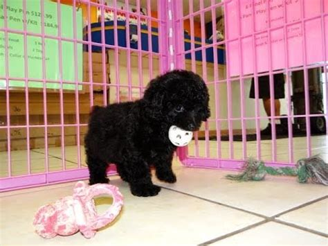 puppies for sale in bakersfield poodle puppies for sale in san jose california ca 19breeders bakersfield
