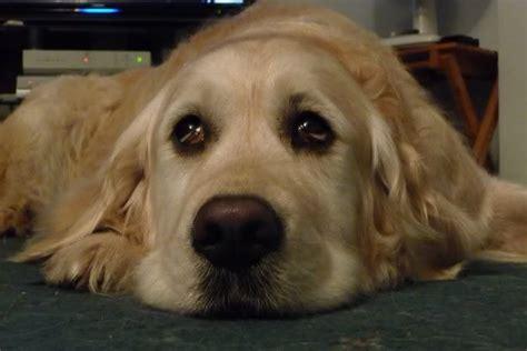 sad golden retriever puppy sad golden retriever search babel