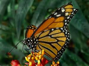Yellow monarch butterfly colors pinterest