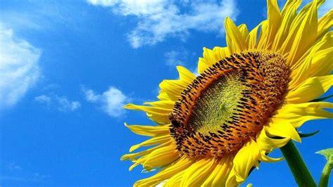 fiori girasole significato dei girasoli significato fiori qual 232 il