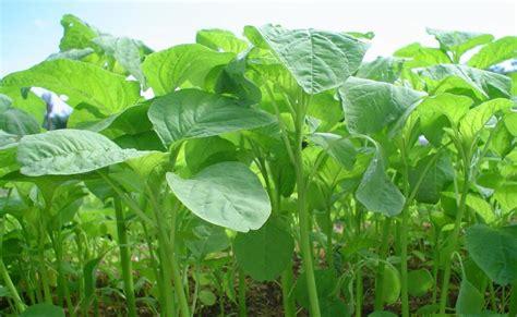 tumbuhan obat  sains  tanaman berkhasiat memulihkan