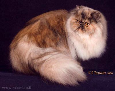 foto dei gatti persiani il gatto persiano